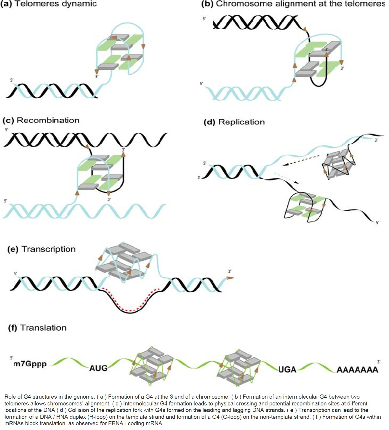 Four-stranded DNA is formed and unfolded
