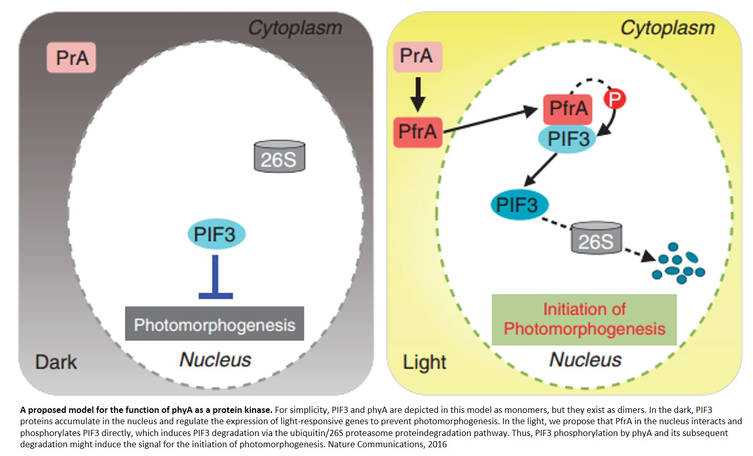 Phytochrome functions as a protein kinase in plant light signalling