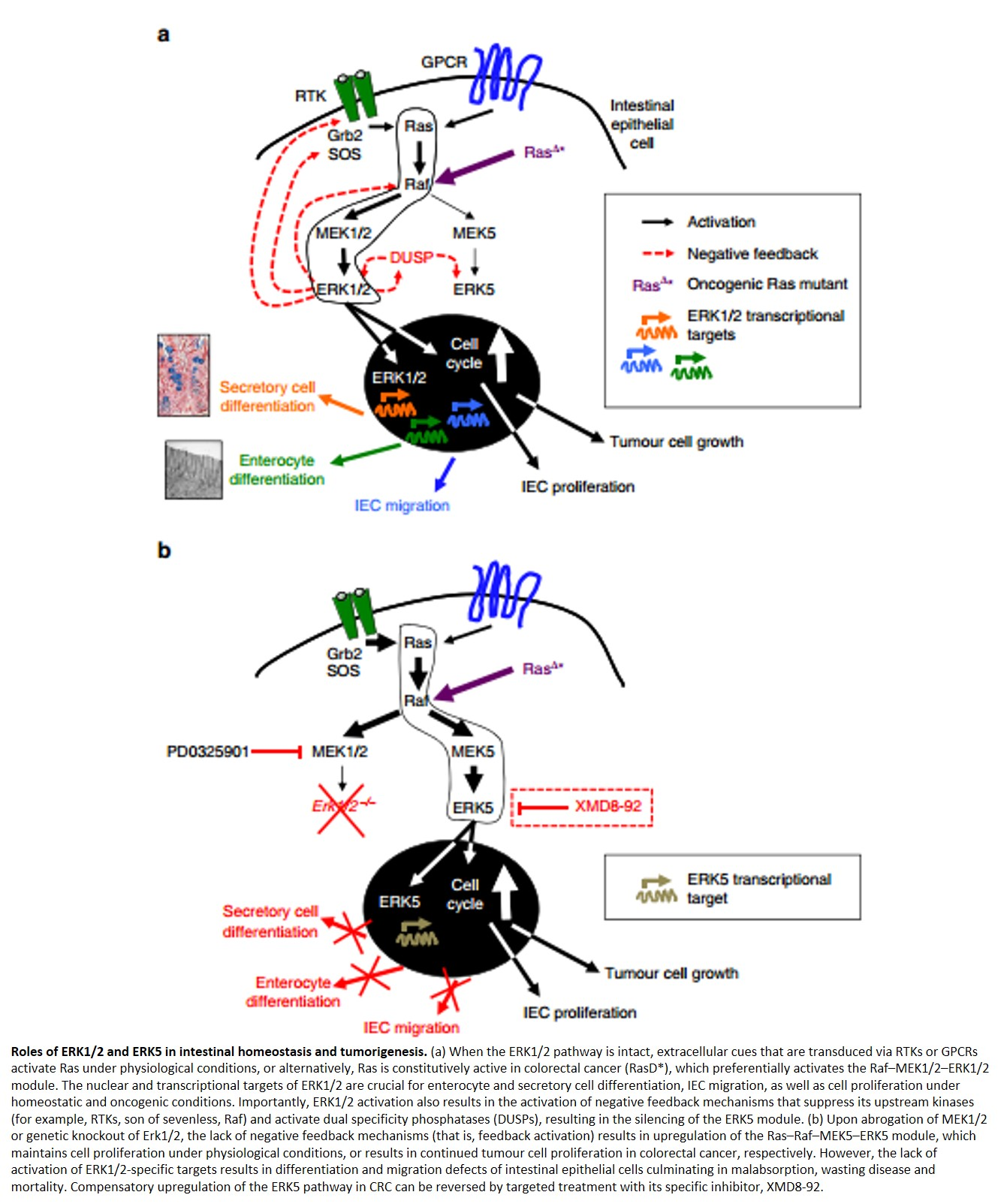 A new tumor-promoting pathway
