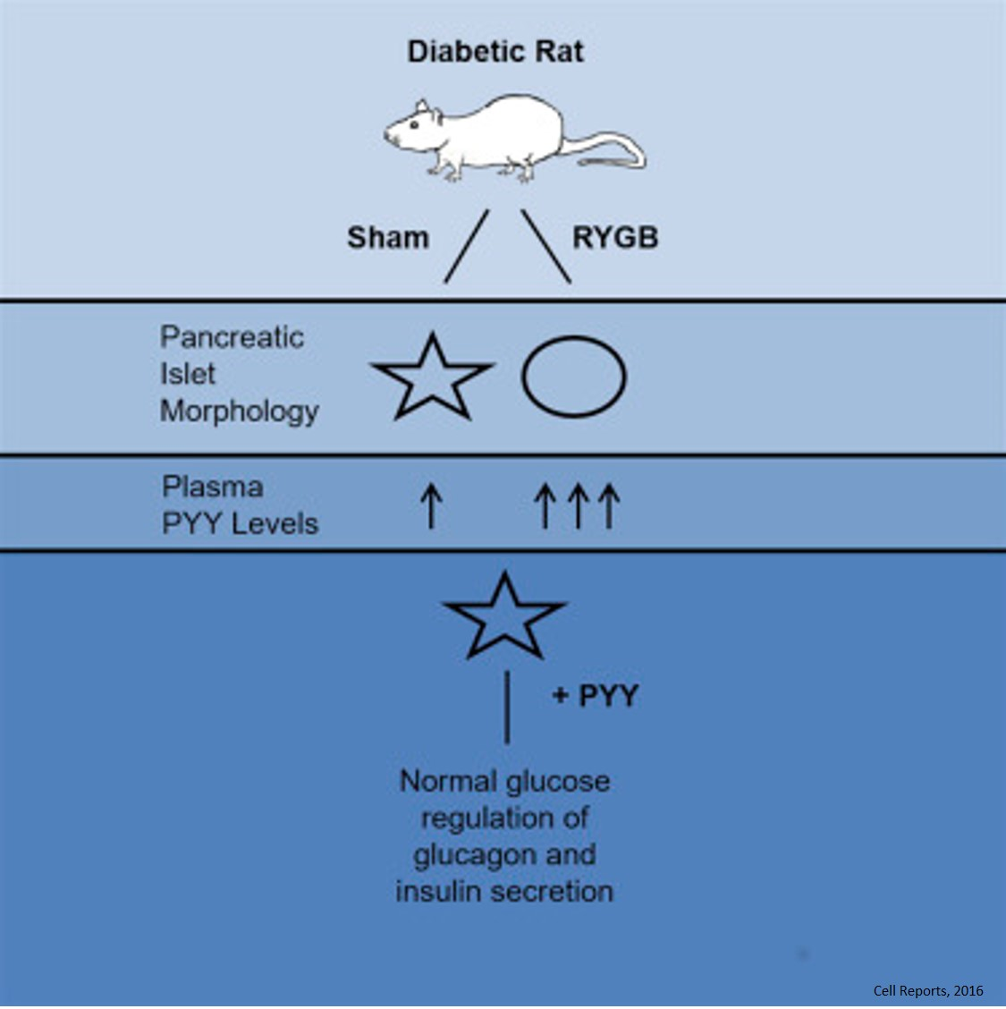 Hormone may offer new approach to obesity mediated type 2 diabetes
