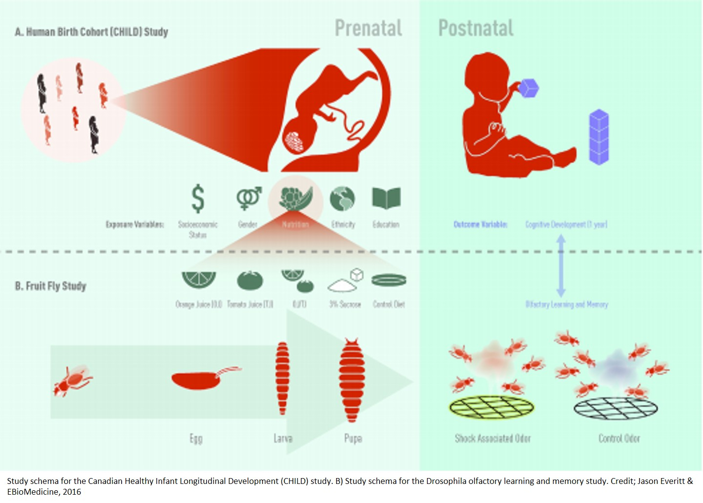 Prenatal Fruit Consumption Boosts >> Prenatal Fruit Consumption Boosts Babies Cognitive Development