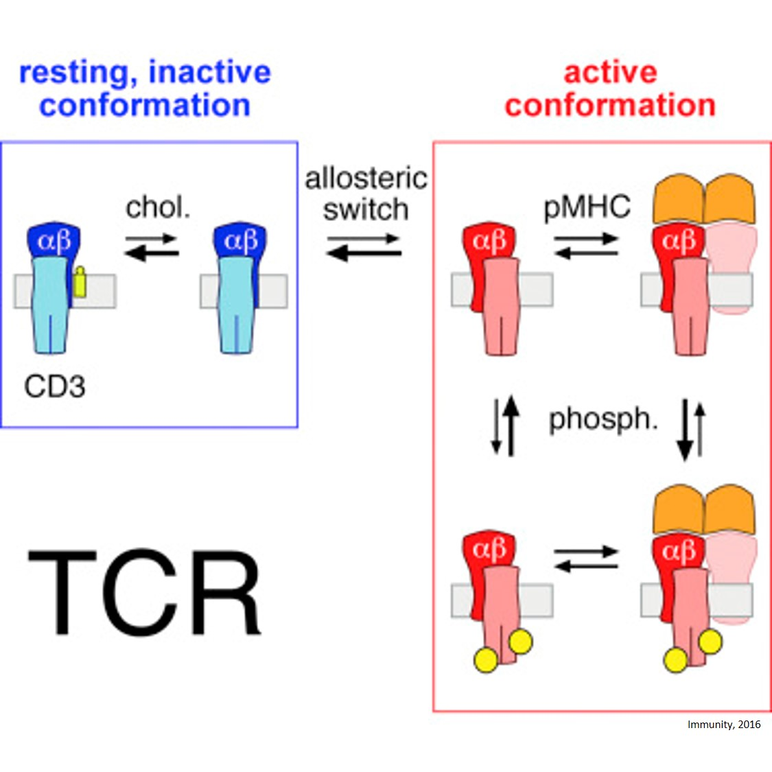 Role of cholesterol in immune (T cell) activation
