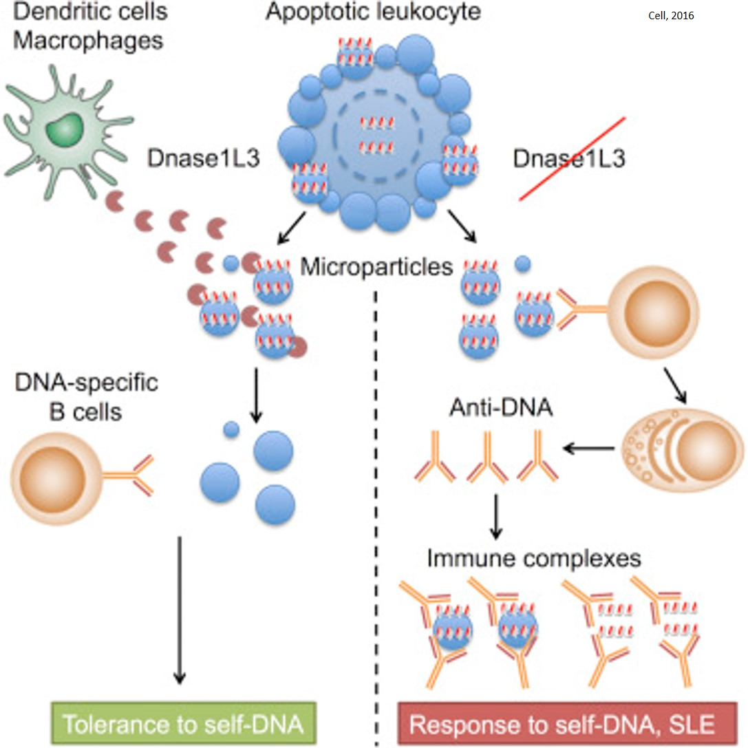 Autoimmunity prevention by digestion of DNA in apoptotic cells