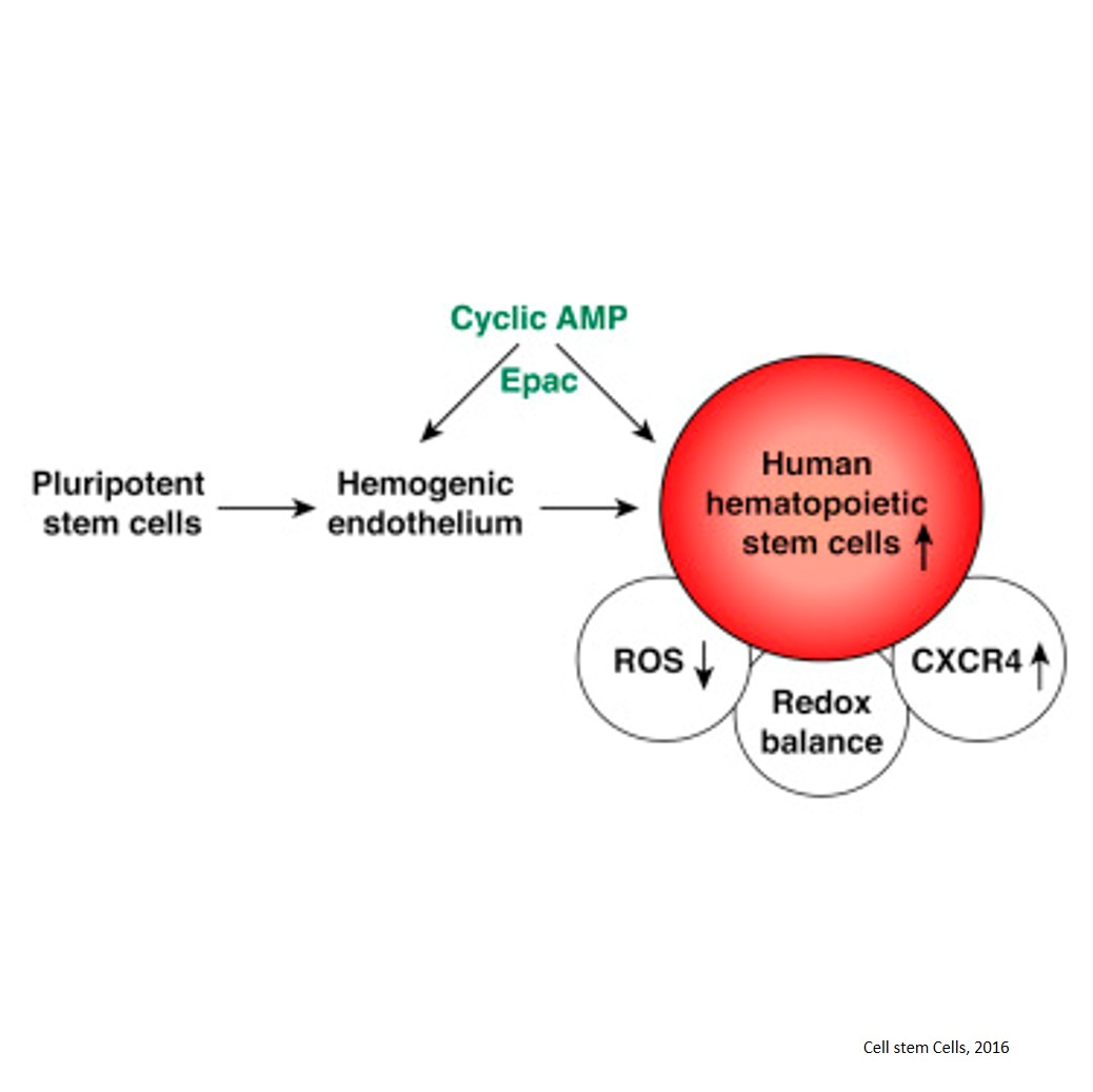 cAMP signaling in the generation of hematopoietic stem cells
