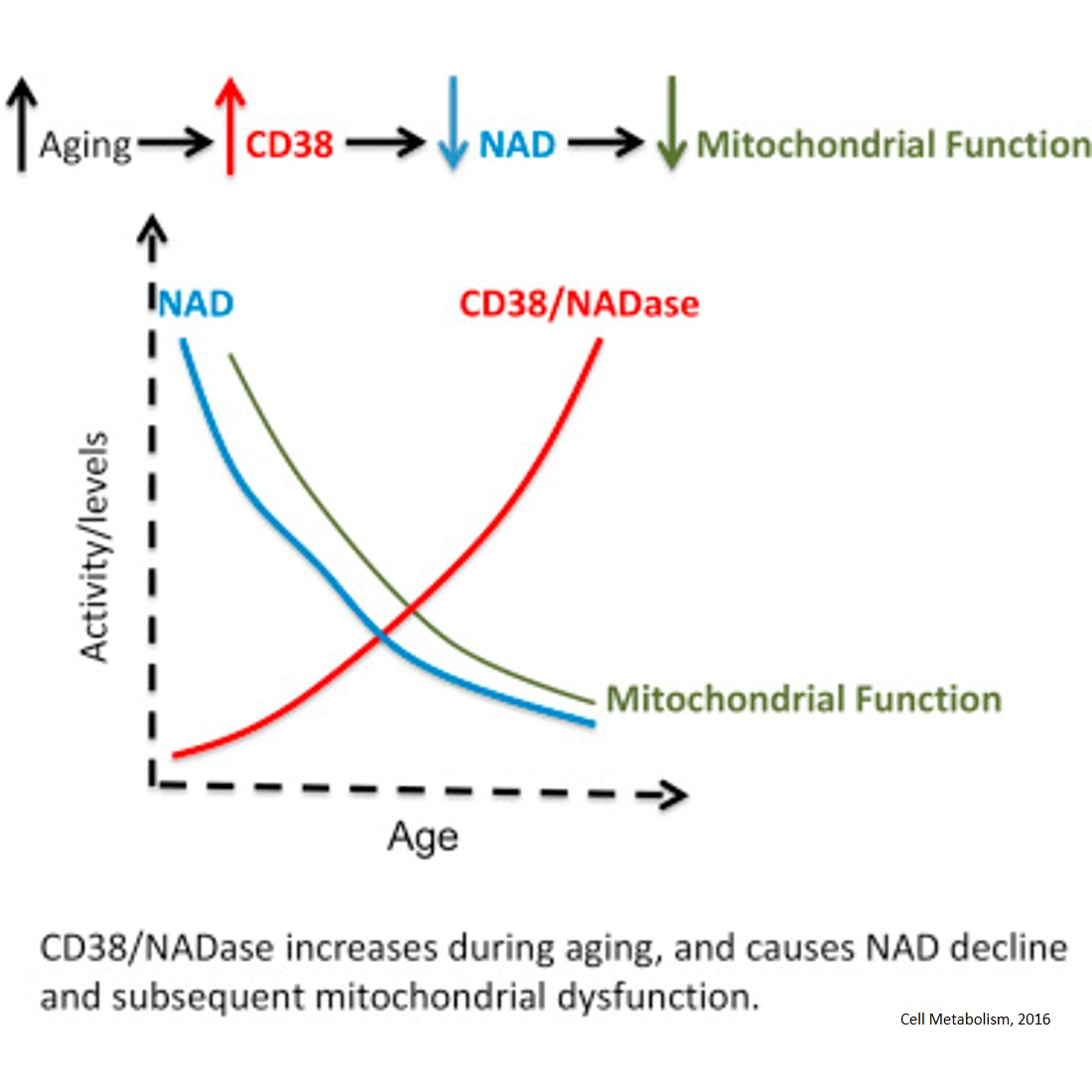 Linking specific enzyme to process of metabolic dysfunction in aging