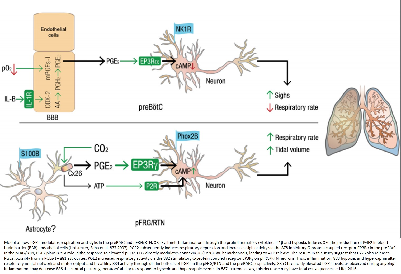 How brain controls breathing - a new brainstem model!