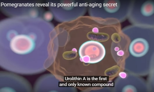 Pomegranate finally reveals its powerful anti-aging secret