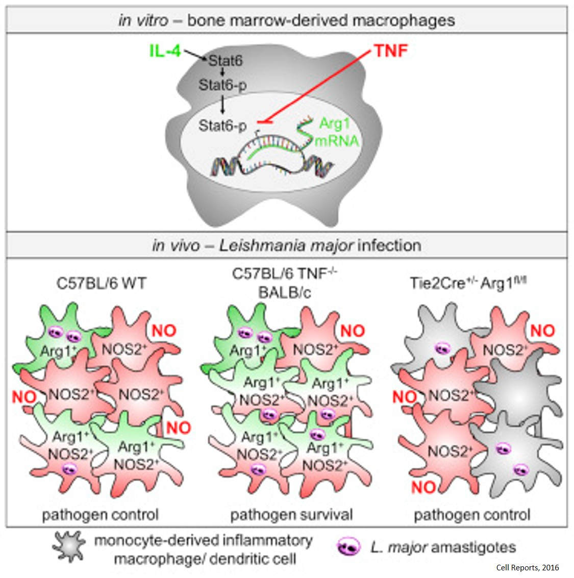 How tumor necrosis factor protects against infection