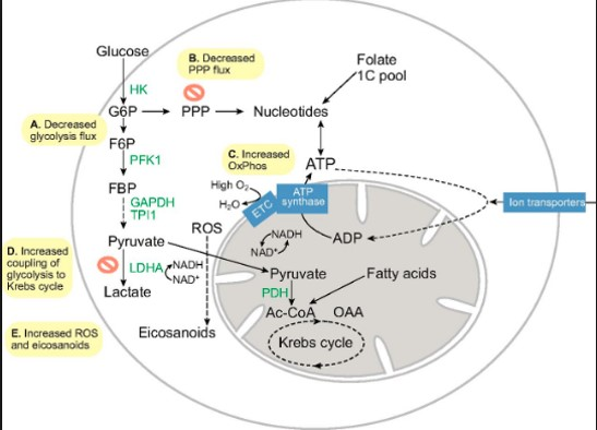 A new role for B-complex vitamins in promoting stem cell proliferation