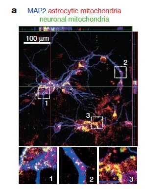 Transfer of mitochondria from astrocytes to neurons after stroke