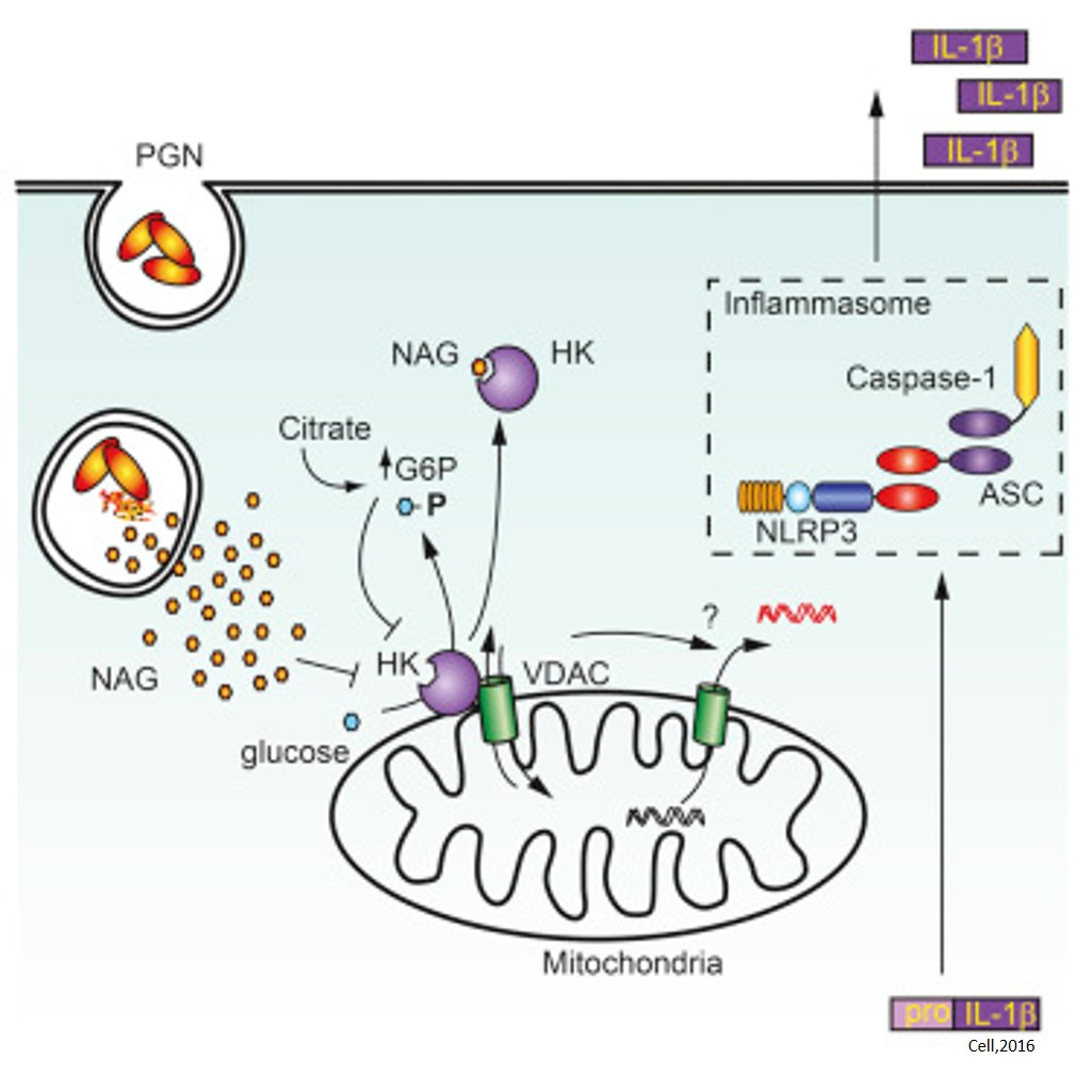 Hexokinase acts as an Immune Receptor!