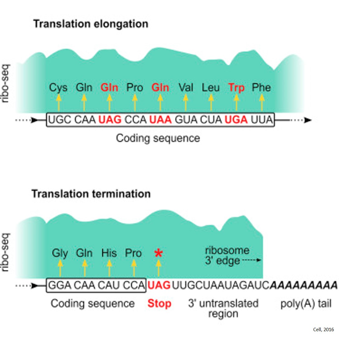 Genetic Codes with No Dedicated Stop Codon