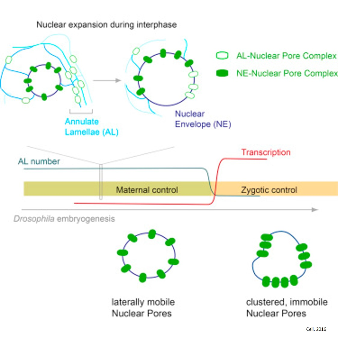 Pre-assembled Nuclear Pores Insert into the Nuclear Envelope during Early Development