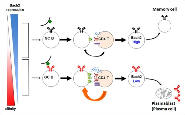 Mechanism for inducing memory B cell differentiation elucidated