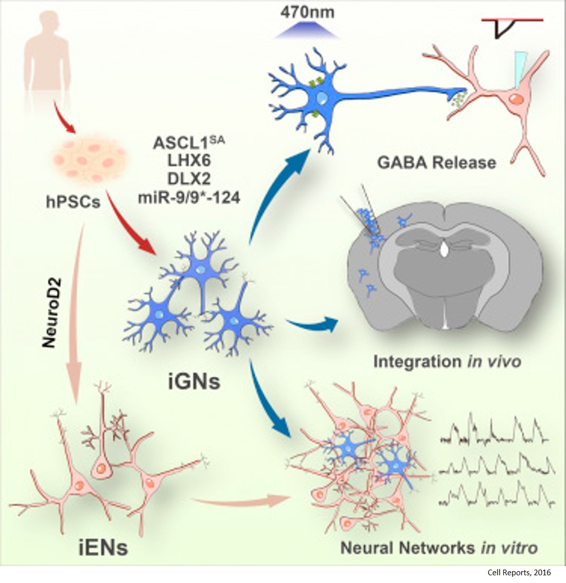 Mass produce human neurons for studying neuropsychiatric disorders
