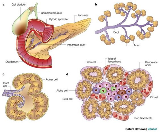 Pancreatic cancer cells find unique fuel sources to keep from starving