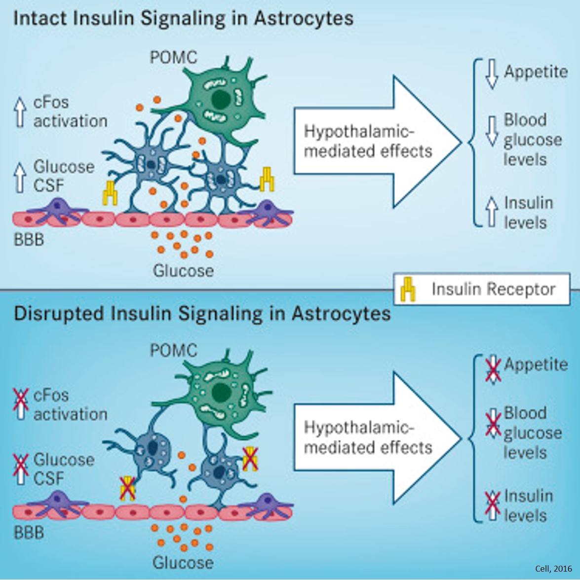 Astrocyte role in glucose uptake in brain and energy metabolism
