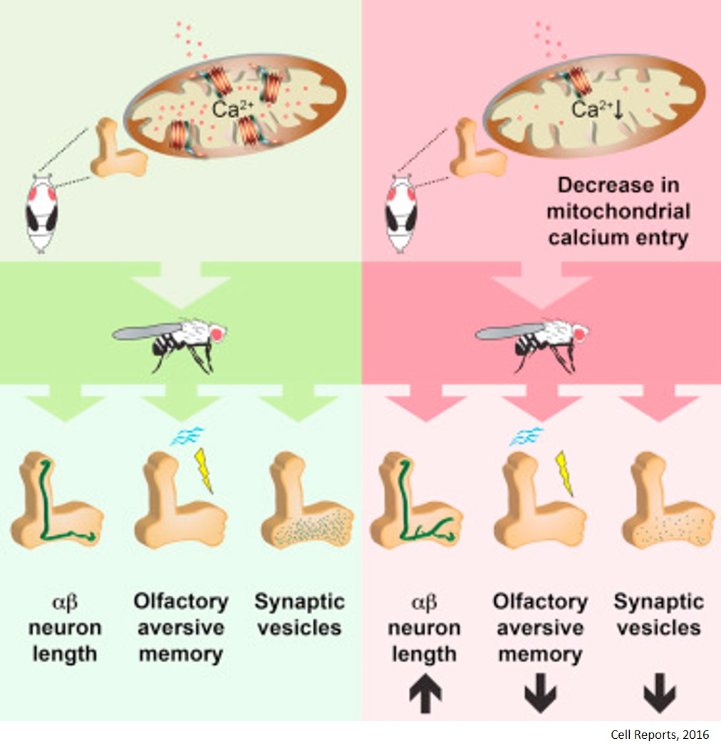 How calcium in mitochondria impact the development of the brain and adult cognition