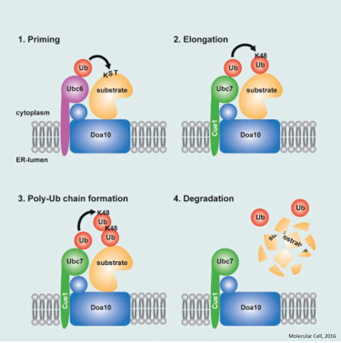 Protein quality control in the cell