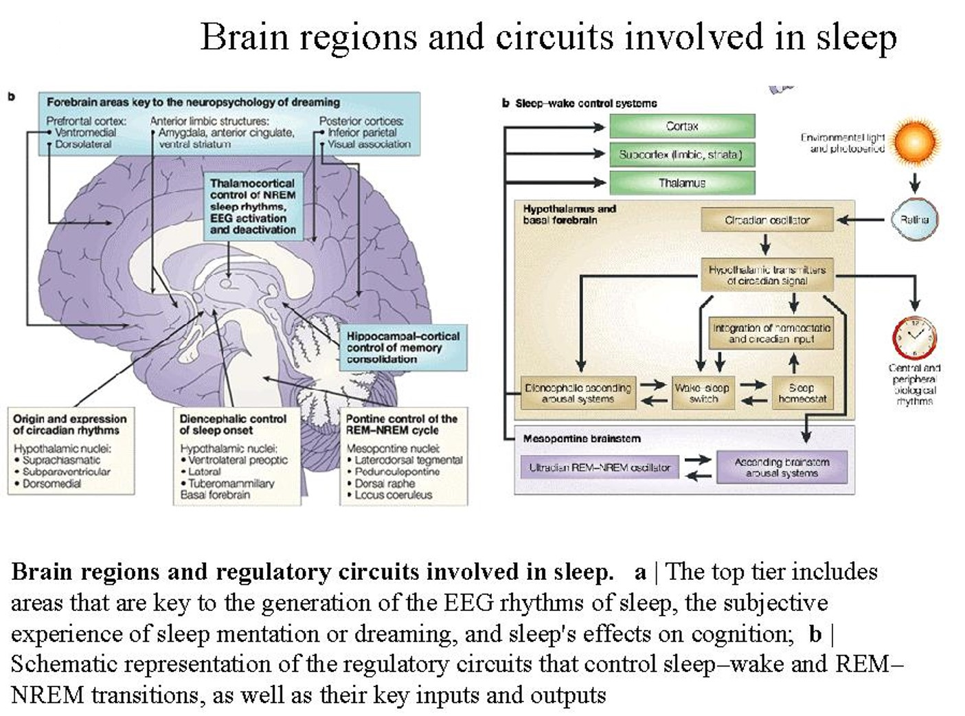 Brain circuit that drives sleep-wake states, sleep-preparation behavior is identified