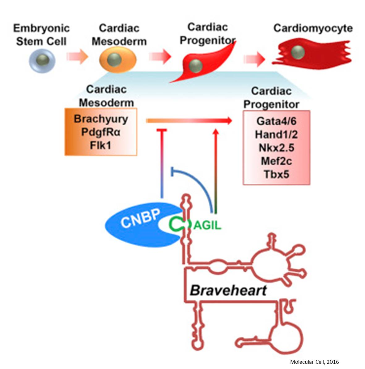 Role of long noncoding RNA in cardiac development
