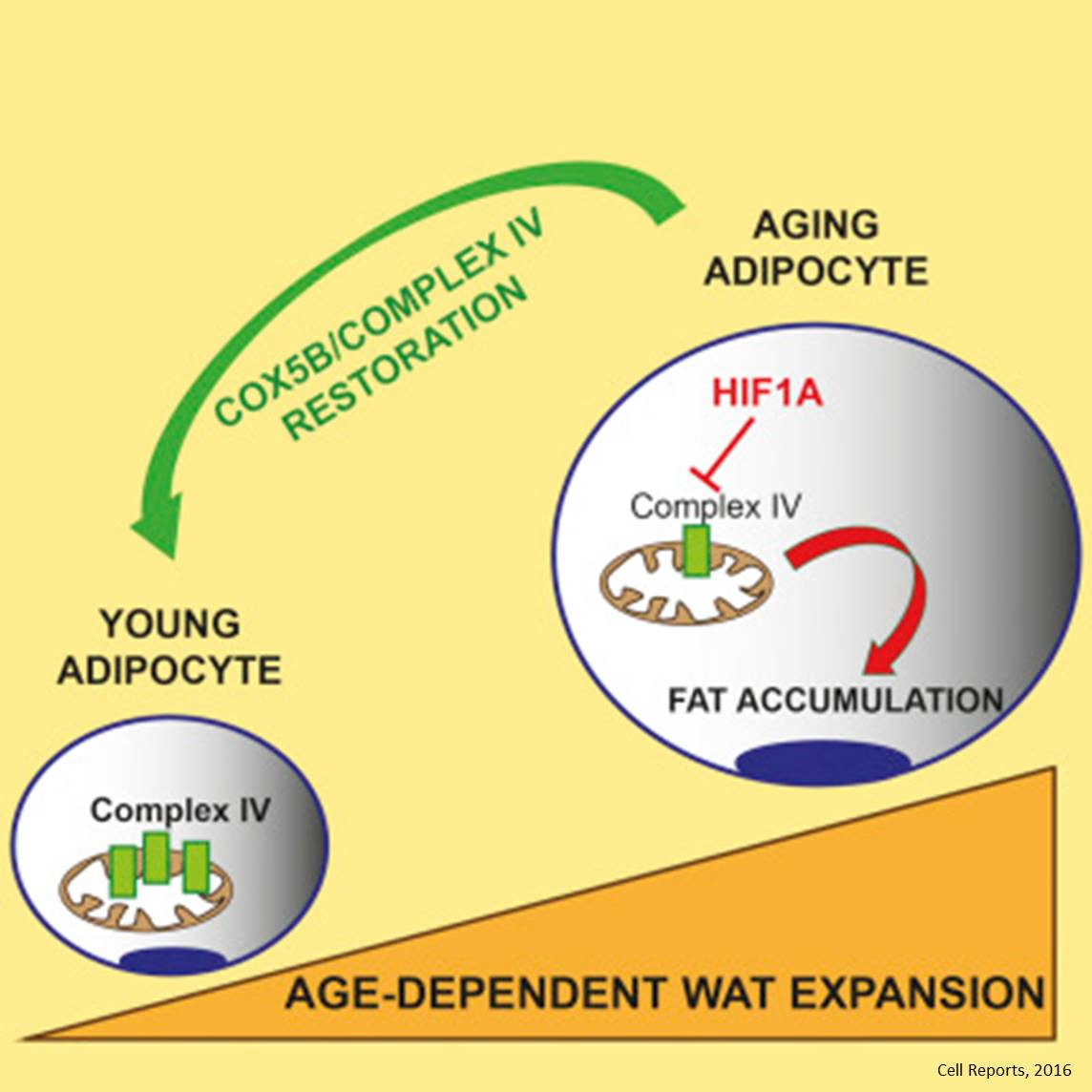 Role of Mitochondrial Complex IV in Age-Dependent Obesity