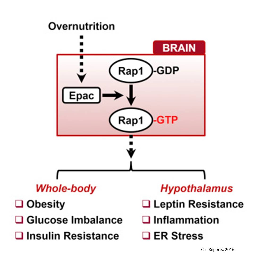 Small GTPase role in brain metabolism