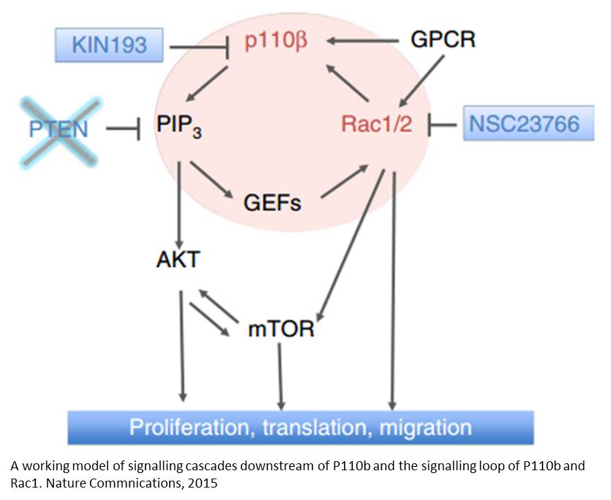 Mechanism of PTEN loss mediated cancer development