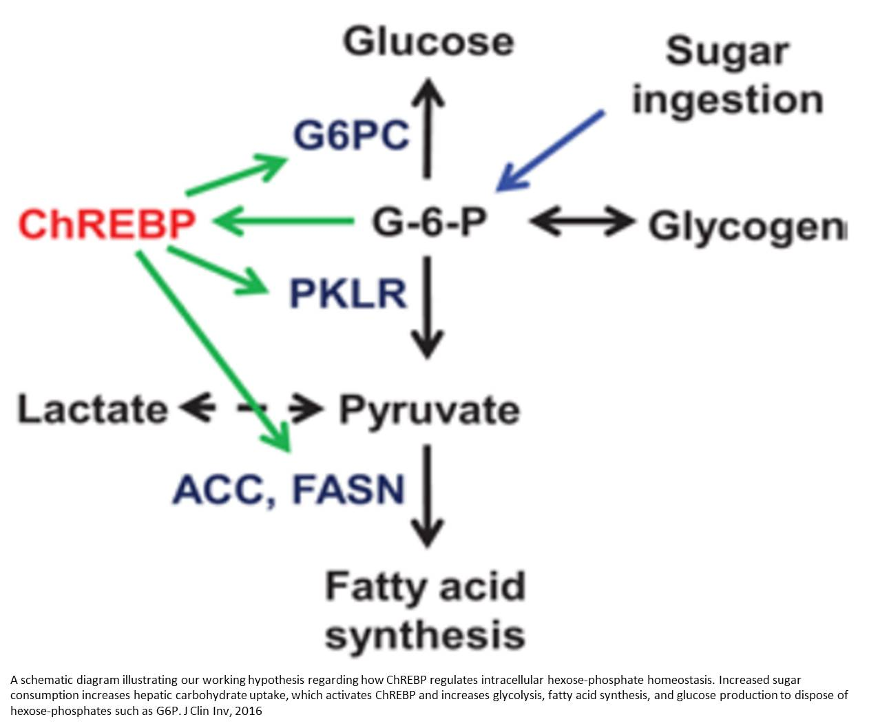 New theory on how insulin resistance, metabolic disease begin