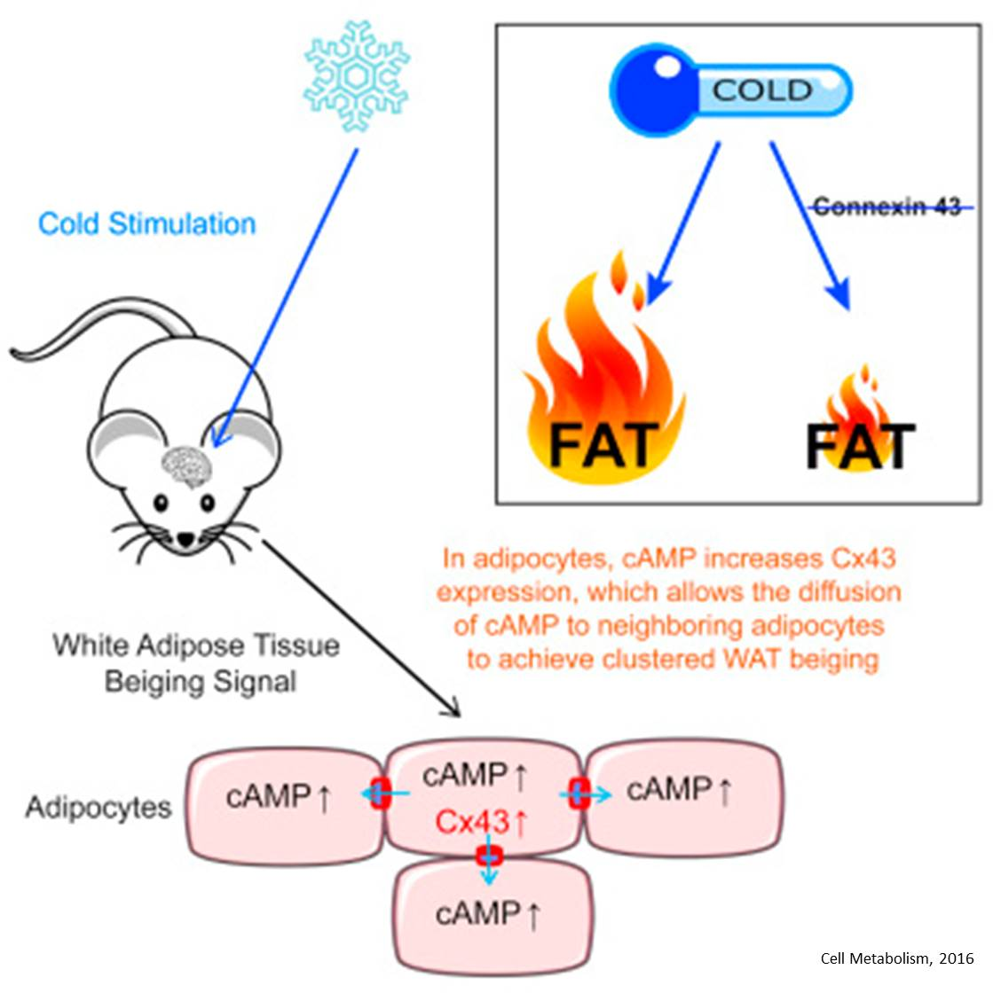 Fat cells that amplify nerve signals in response to cold also affect blood sugar metabolism