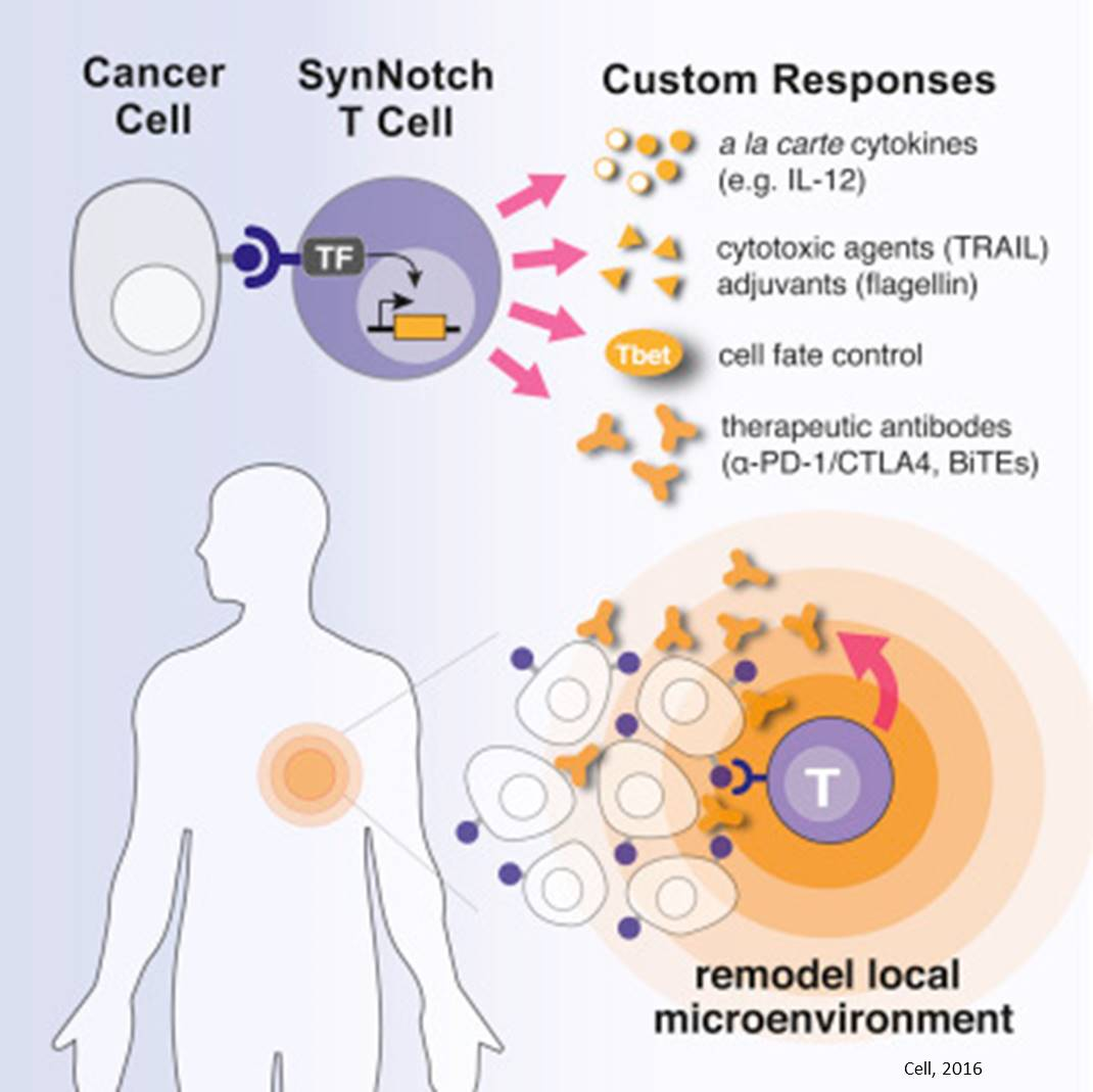 Delivering drugs directly to tumors by programming T cells