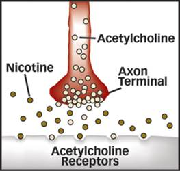 Appetite controlling neurons linked to nicotine