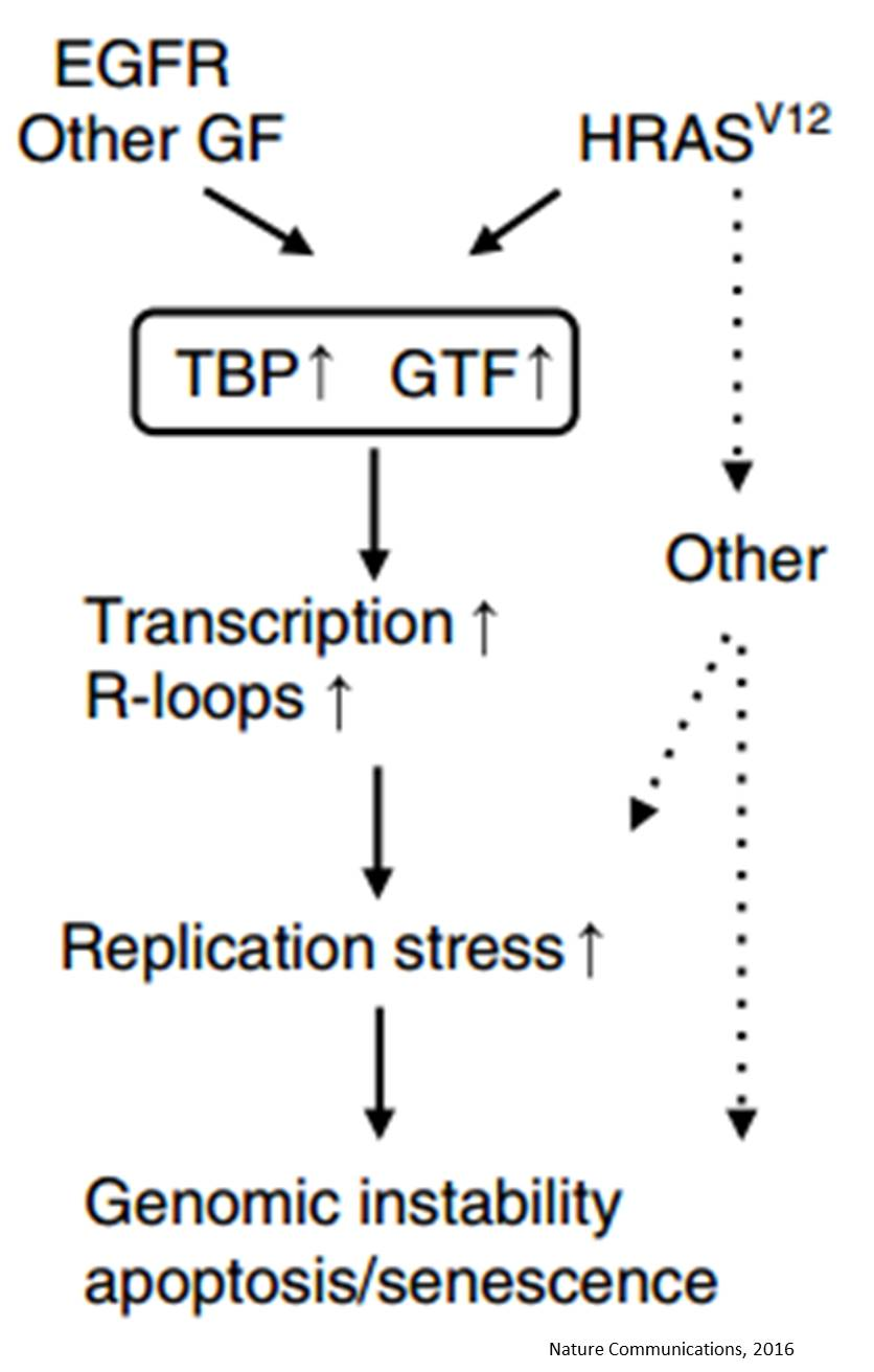 Increased global transcription activity as a mechanism of replication stress in cancer