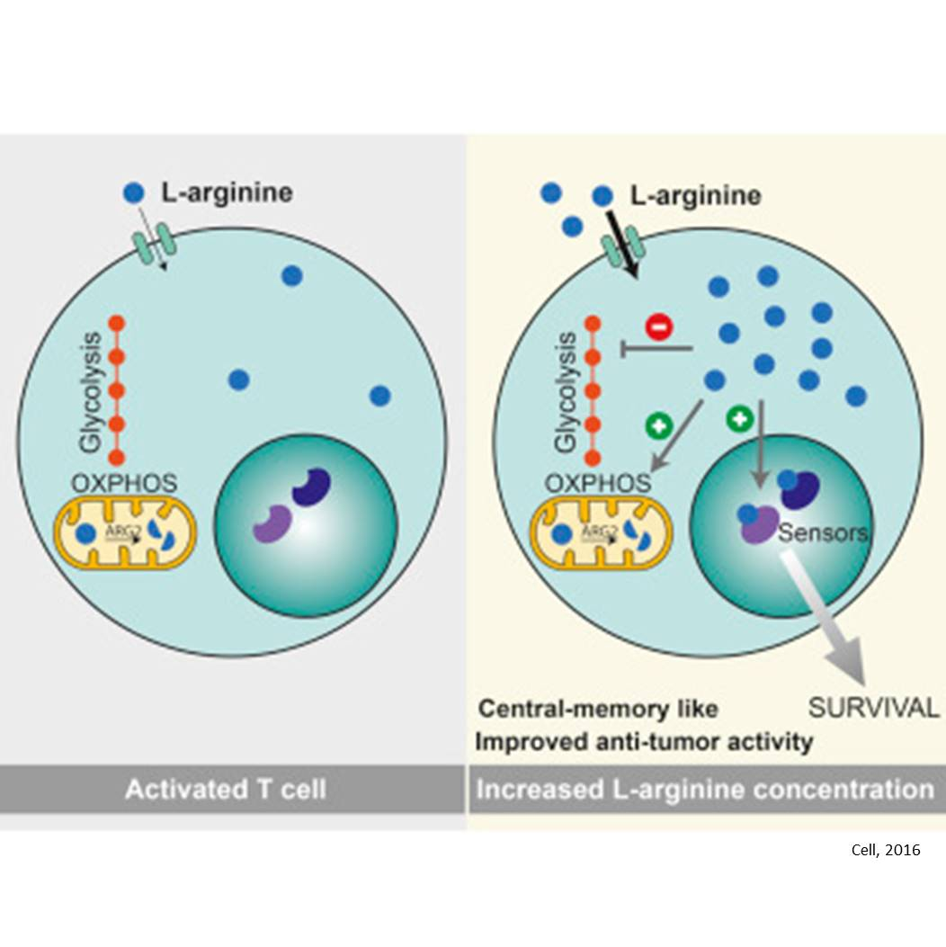 L-Arginine Modulates T Cell Metabolism and Enhances Survival and Anti-tumor Activity