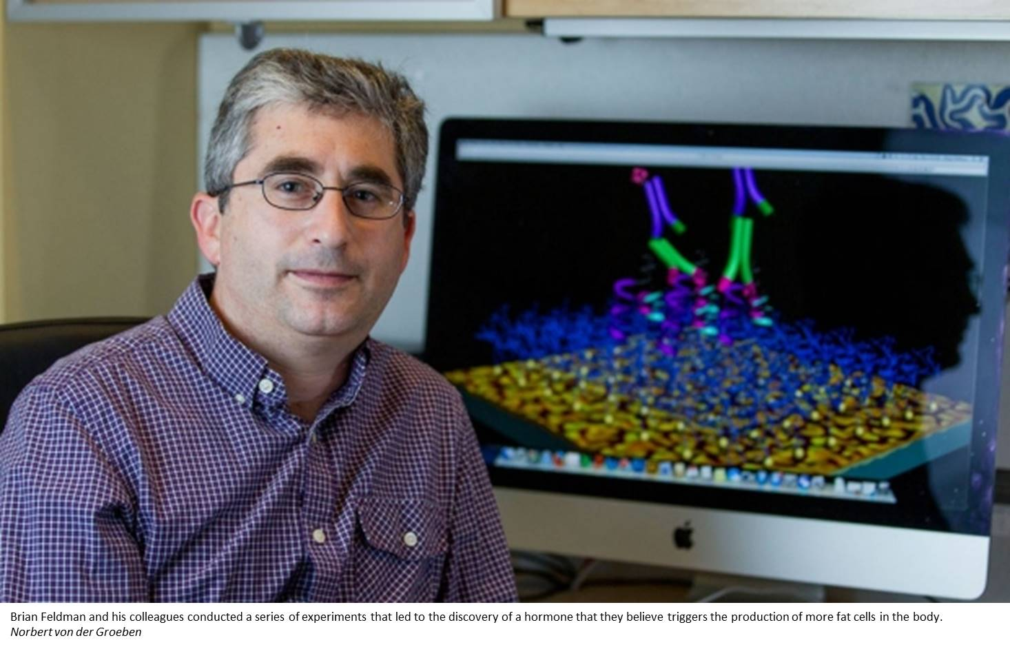Hormone that controls maturation of fat cells discovered