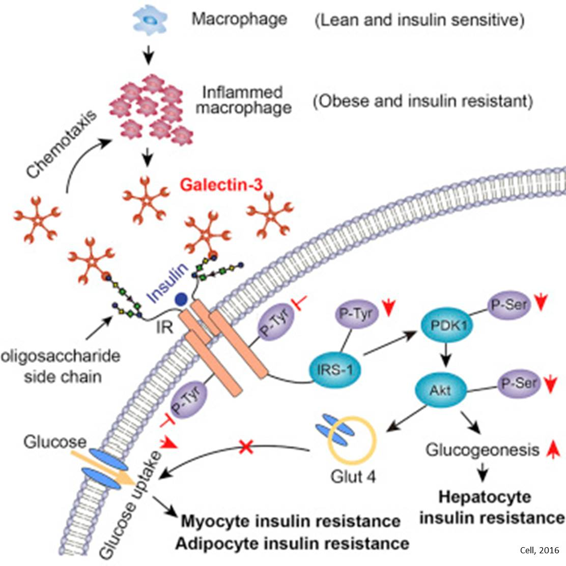 Diabetic Sites: Insulin Resistance Protein Identified!