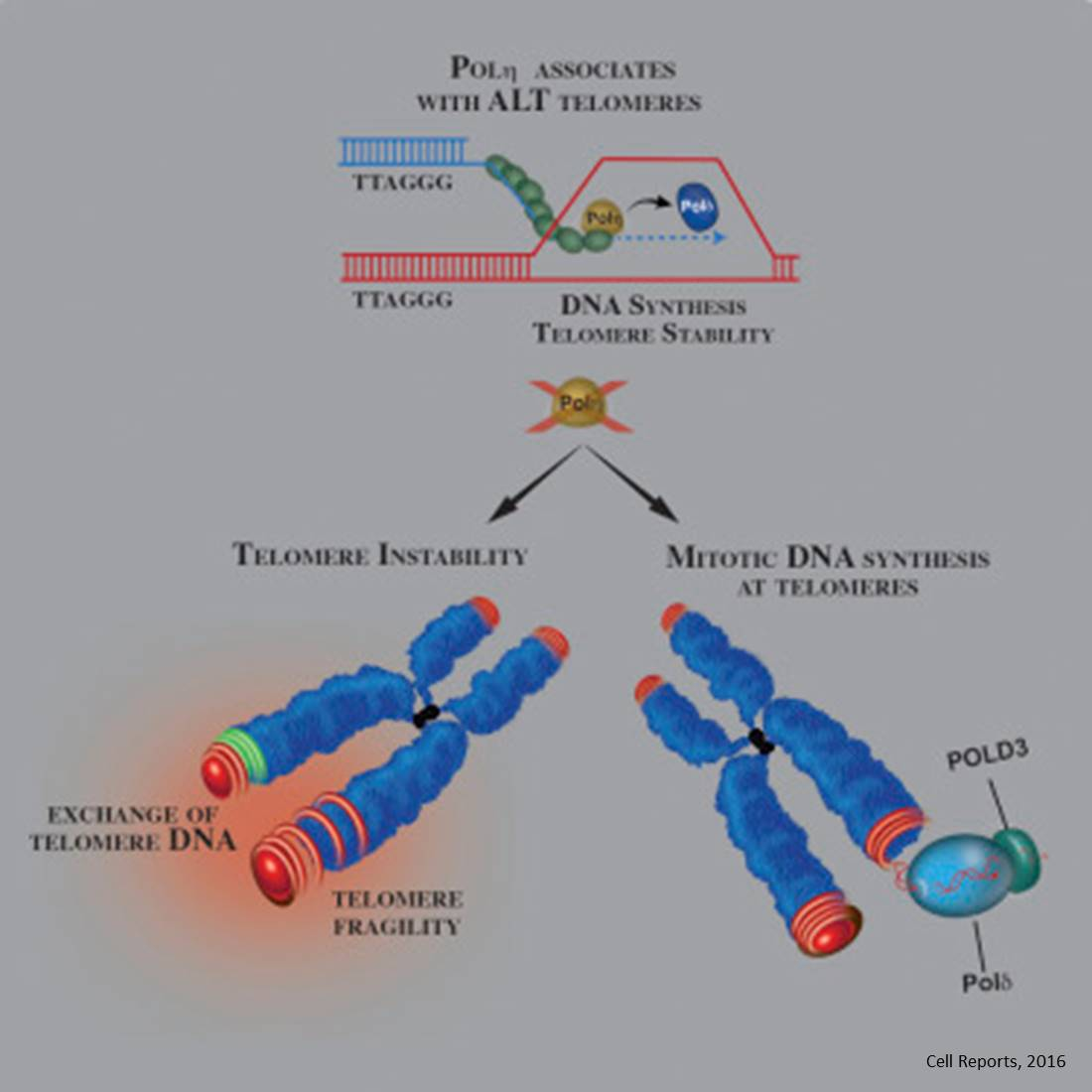 Cancer cells hijack DNA repair networks