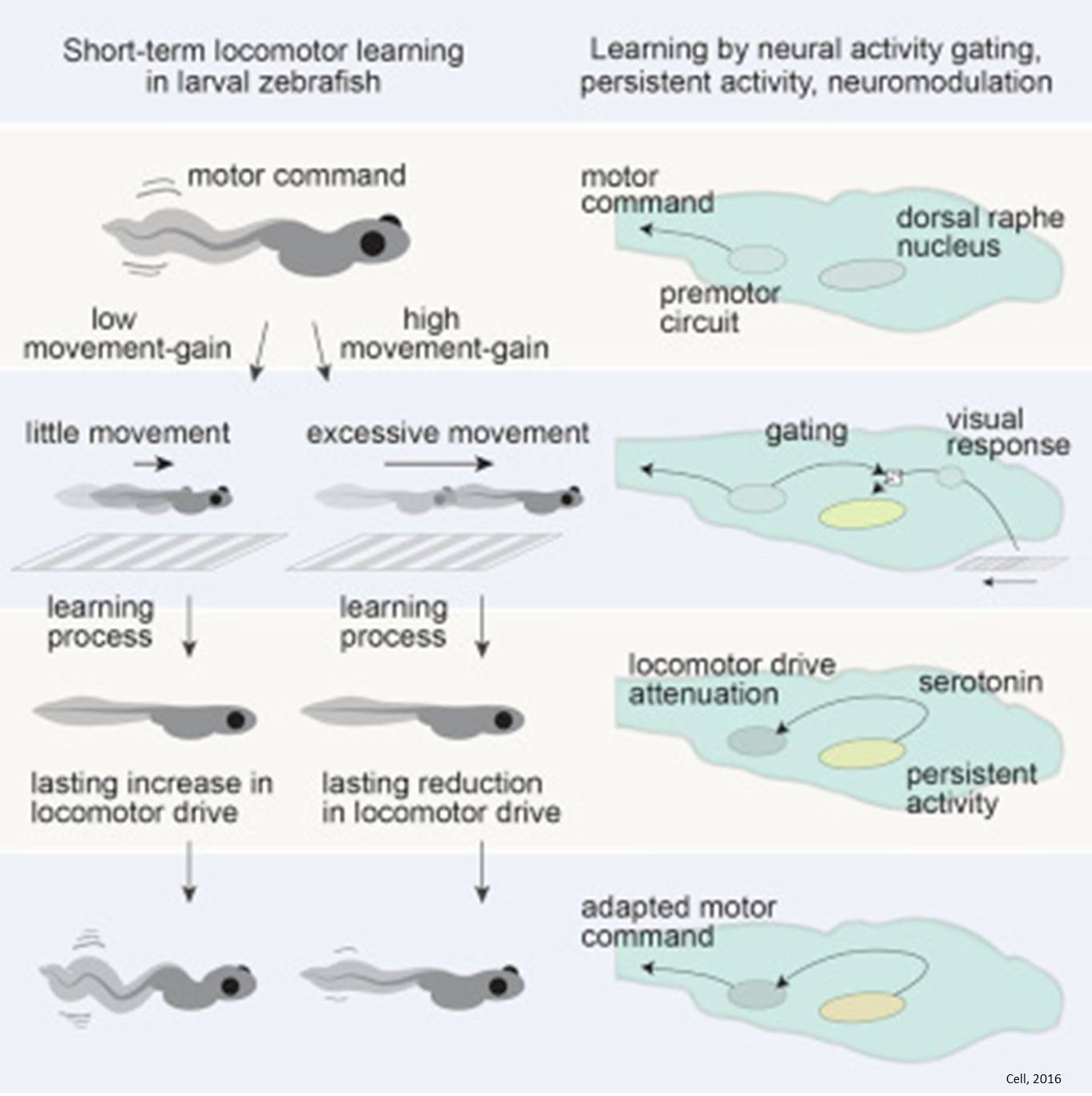 Serotonergic system involved in short-term locomotor learning!