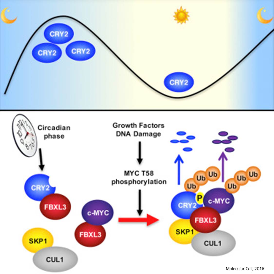 How circadian 'clock' may influence cancer pathway