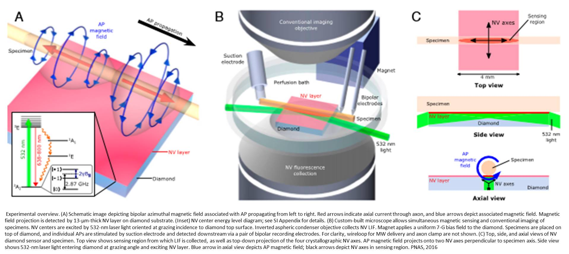 Magnetic field detection in single neurons