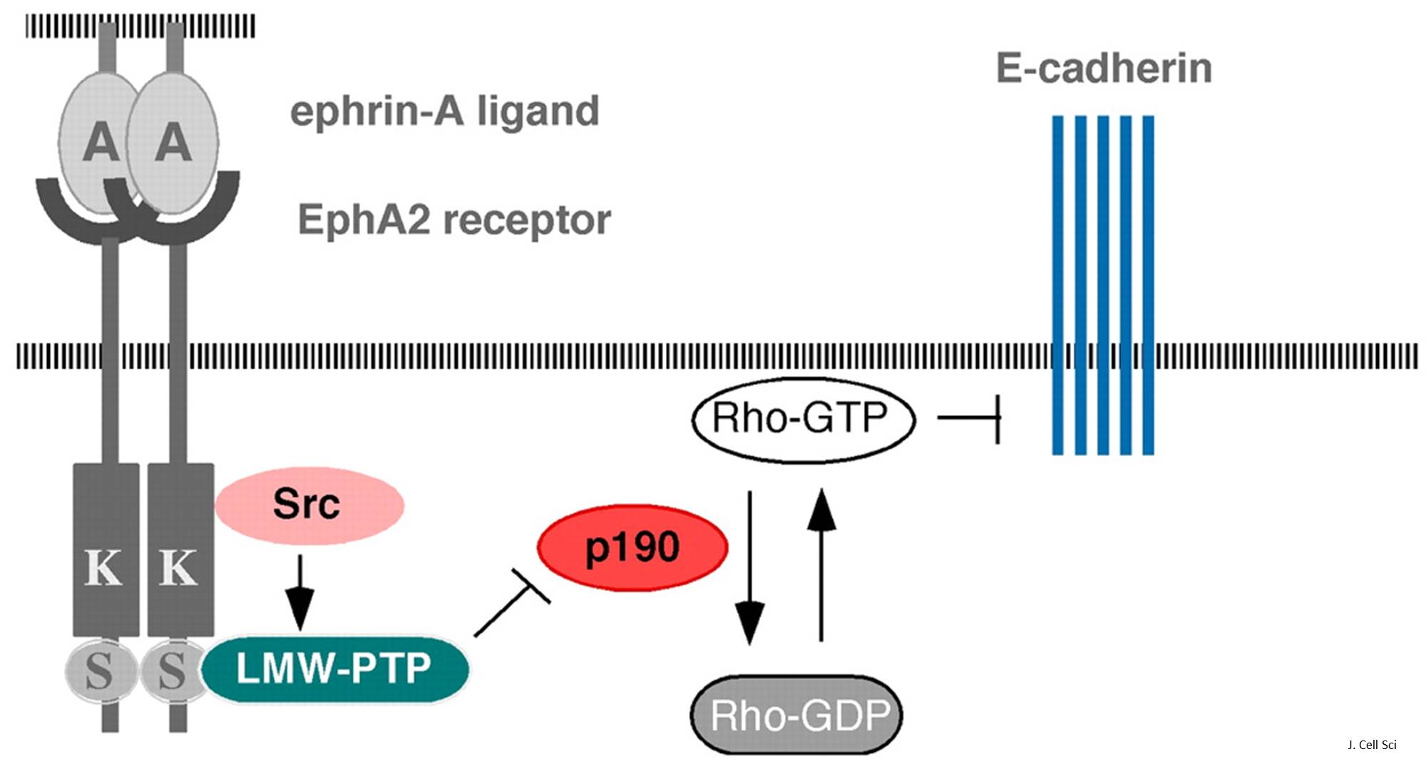 A receptor discovered for progranulin - implication in cancer and neurodegenerative diseases