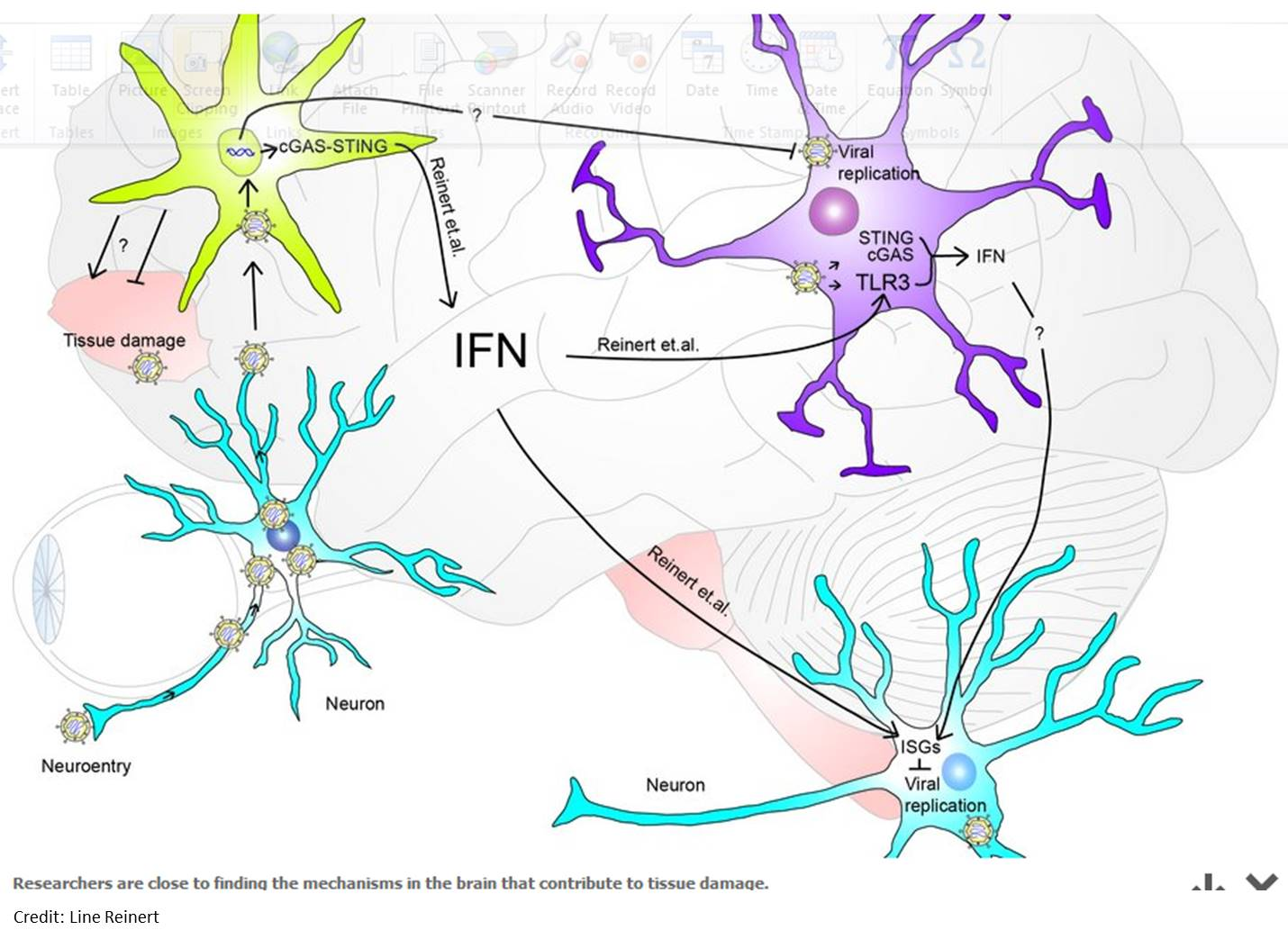 Microglia act as an incident commander in the brain's defence system