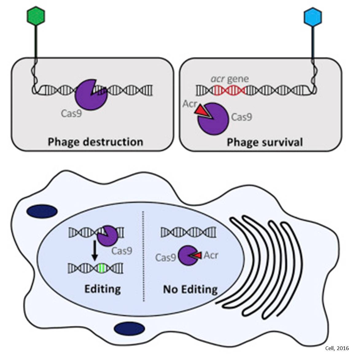 Off-Switches for gene editing tool, CRISPR-Cas9, identified!