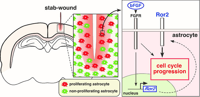 How brain tissue recovers after injury?