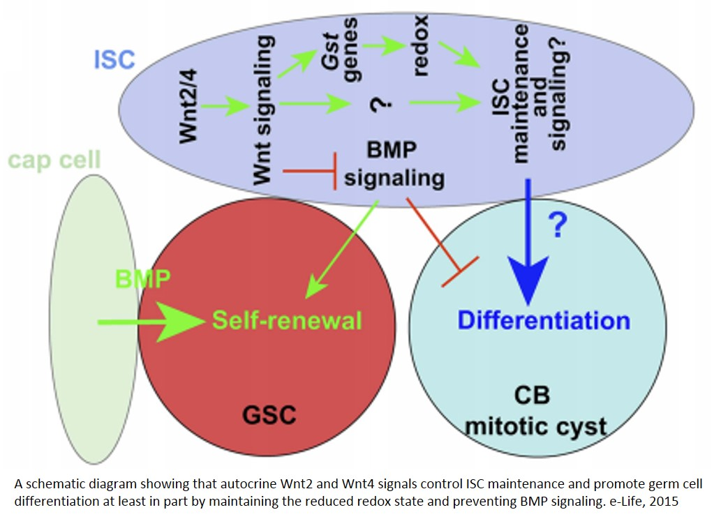 Wnt signaling is required for differentiation niche in stem cells