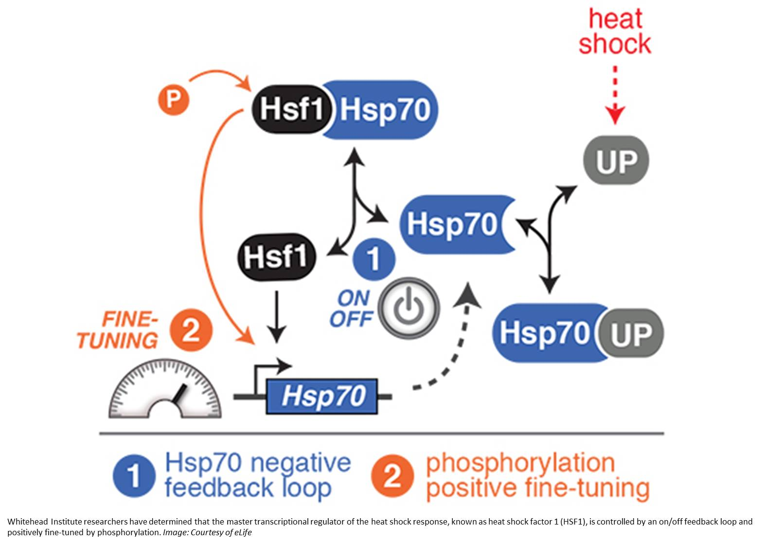 Heat shock regulator controlled by on/off switch and phosphorylation