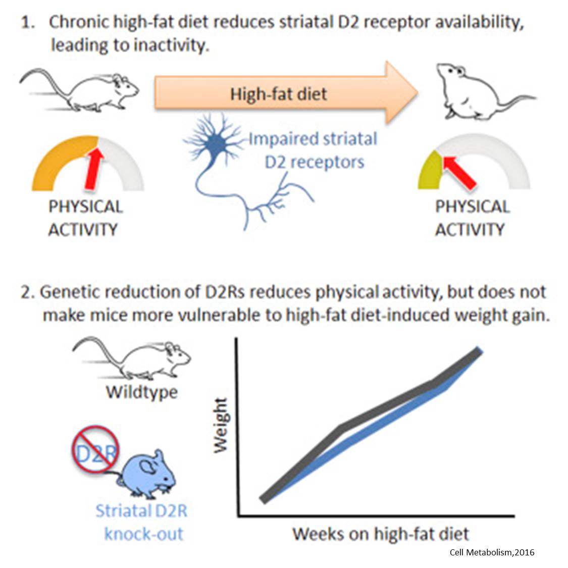 Inactivity in obese mice linked to a decreased motivation to move