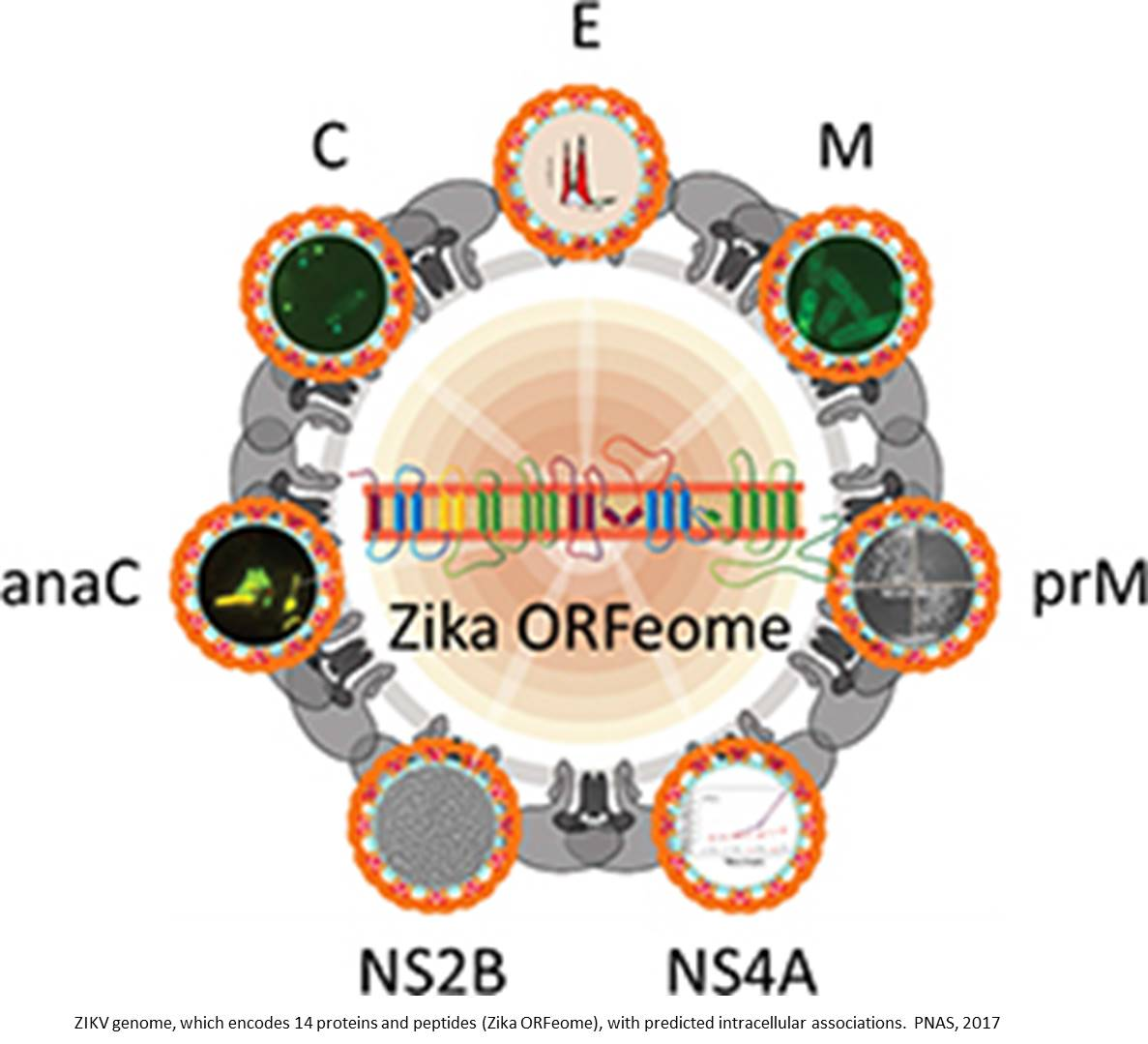Cytopathic effects of Zika virus proteins
