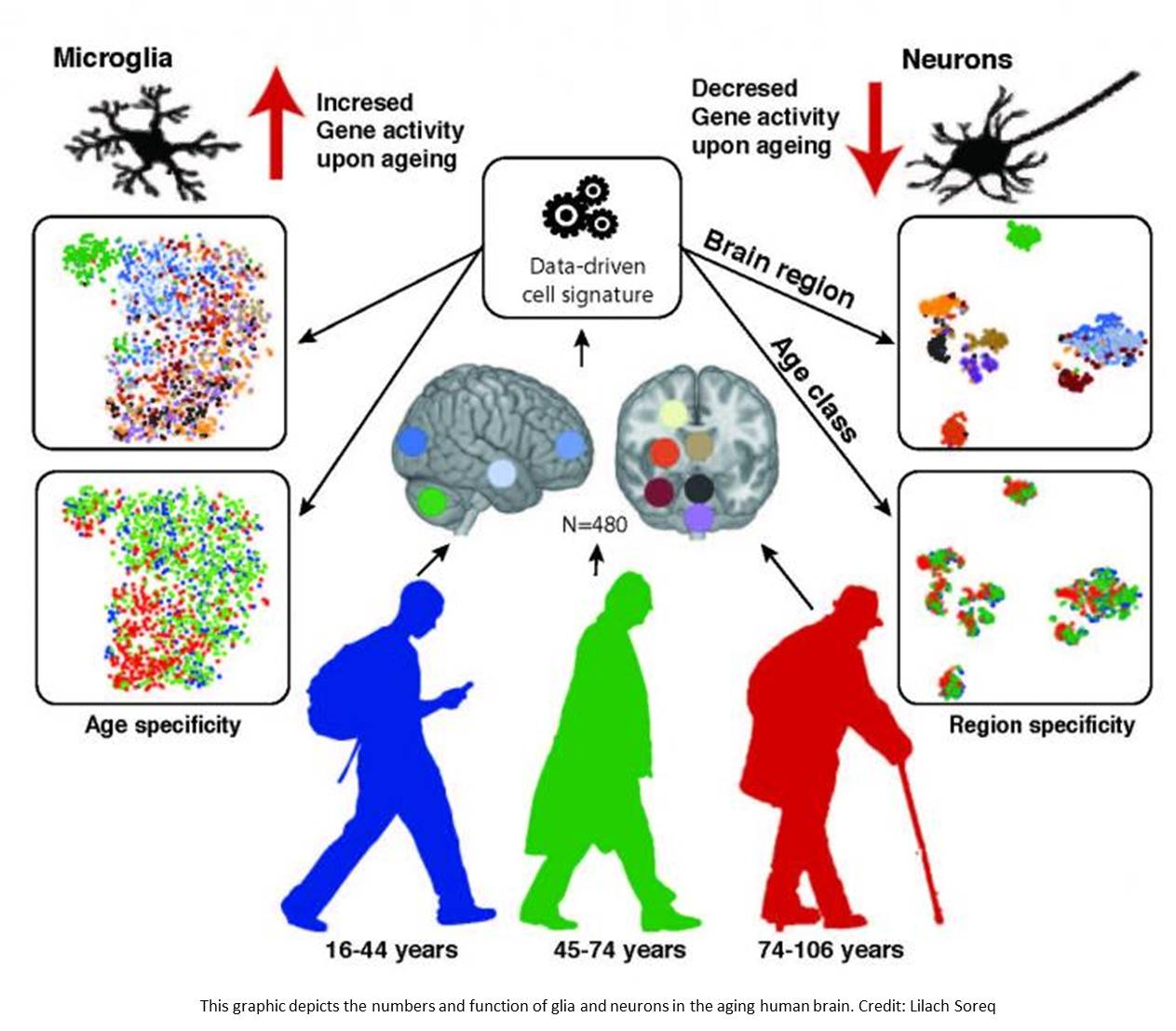 Glia, not neurons, are most affected by brain aging