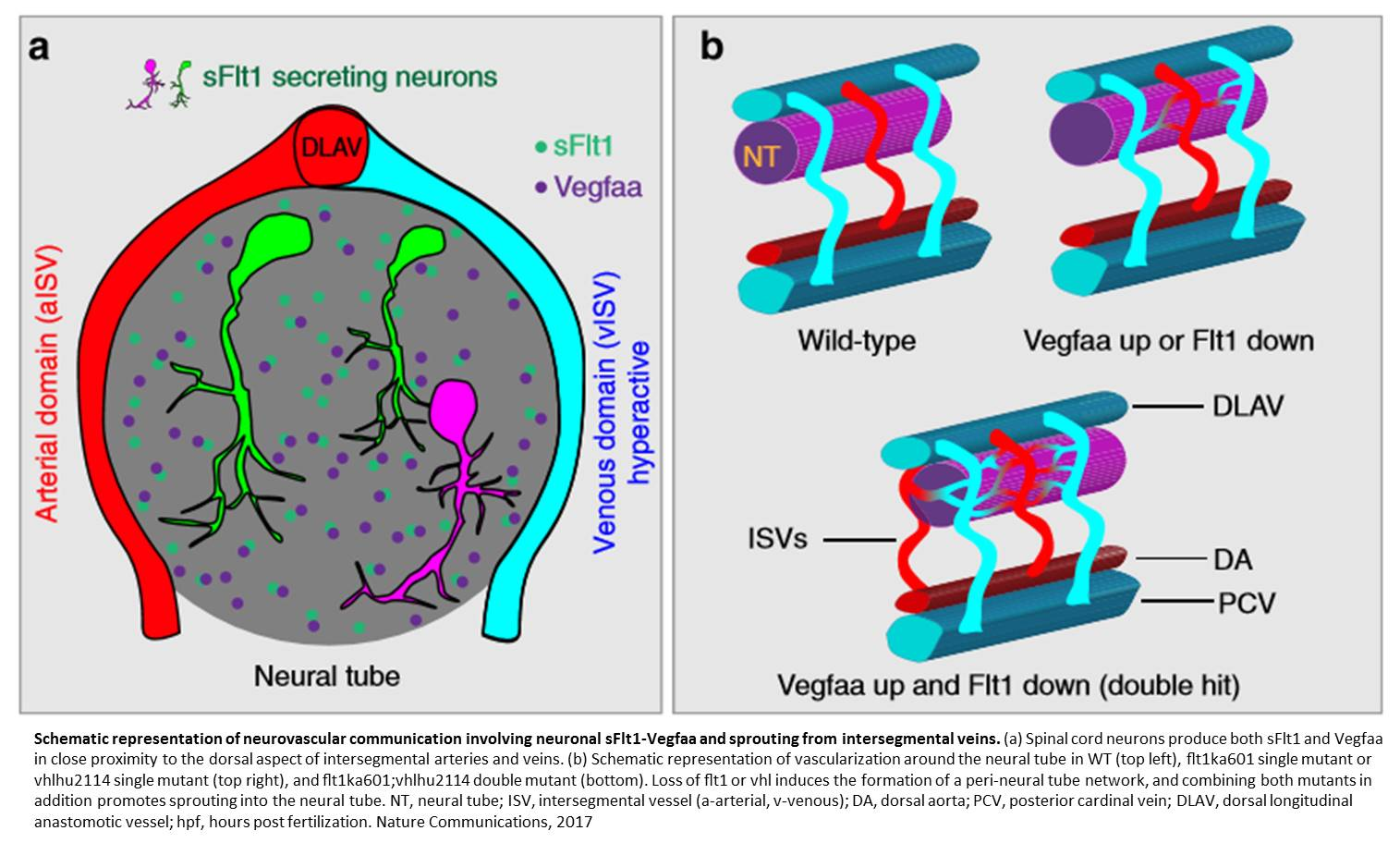 Neurons Modulate the Growth of Blood Vessels